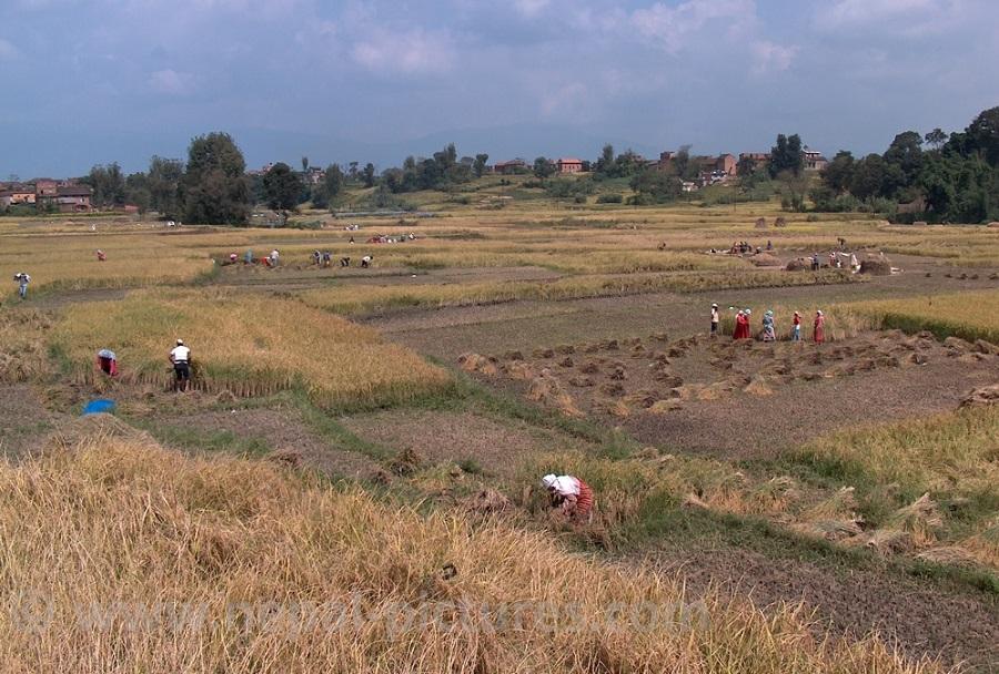 paddy harvest, Nepal